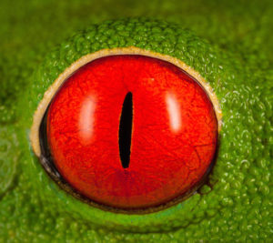 Red-eyed Tree Frog (Agalychnis callidryas) eye, Costa Rica